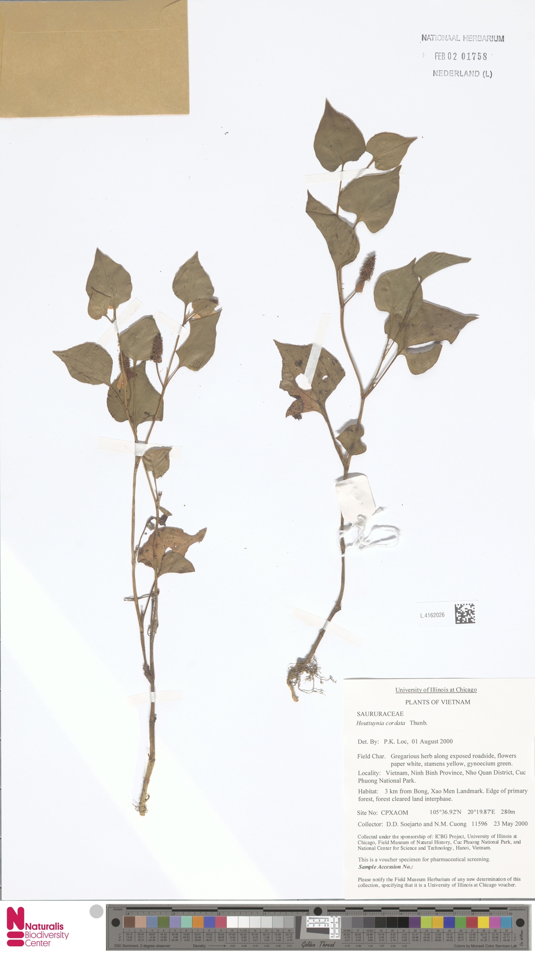 L.4162026   Houttuynia cordata Thunb.