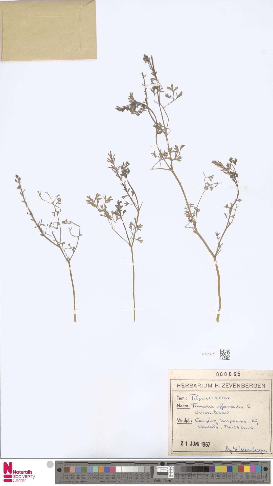 L.4170529 | Fumaria officinalis L.