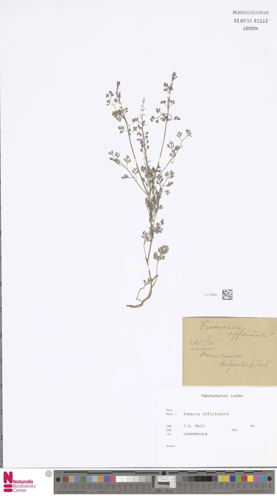 L.4170635   Fumaria officinalis L.