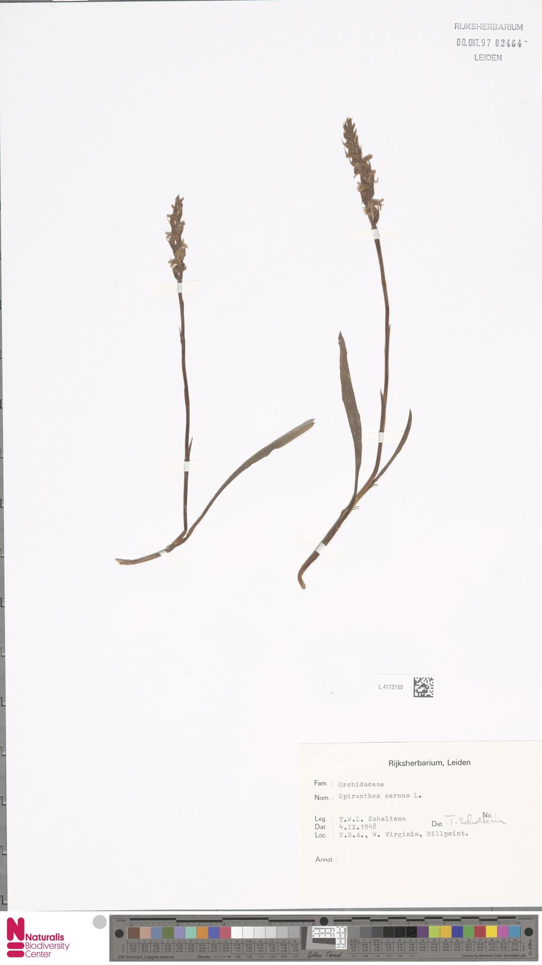 L.4172150 | Spiranthes cernua L.