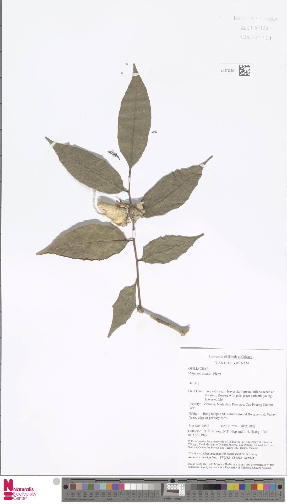 L.4175328   Melientha suavis Pierre