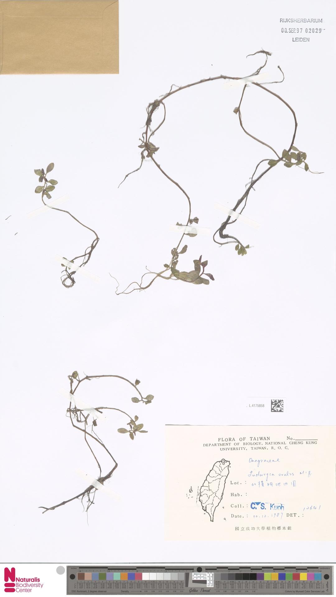 L.4175858 | Ludwigia ovalis Miq.