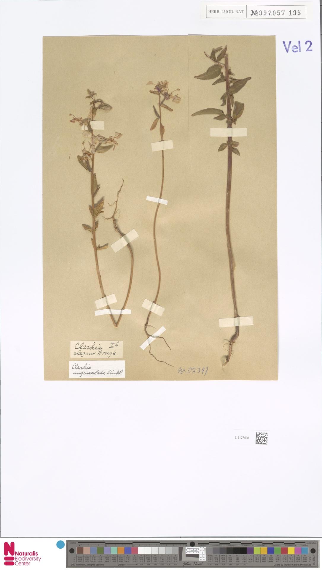 L.4176031 | Clarkia unguiculata Lindl.