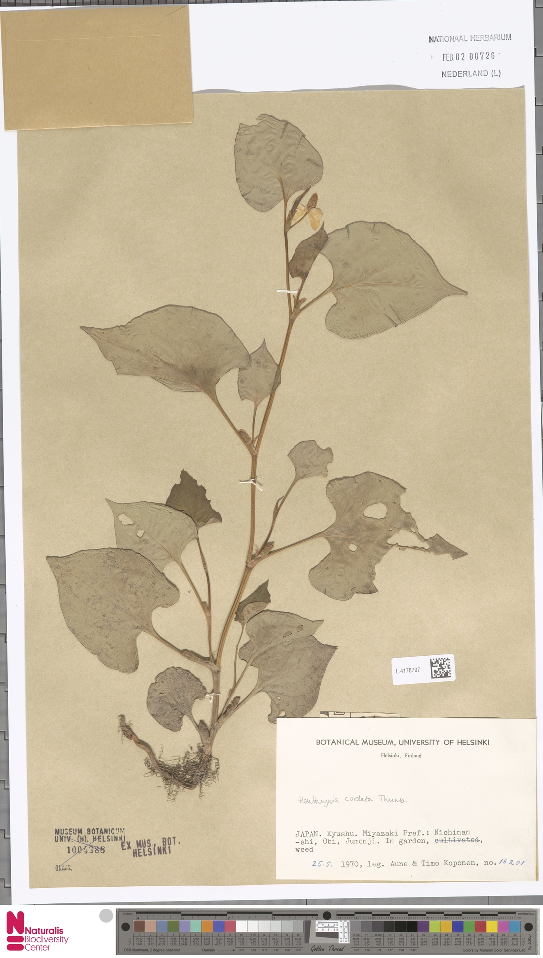 L.4178797 | Houttuynia cordata Thunb.