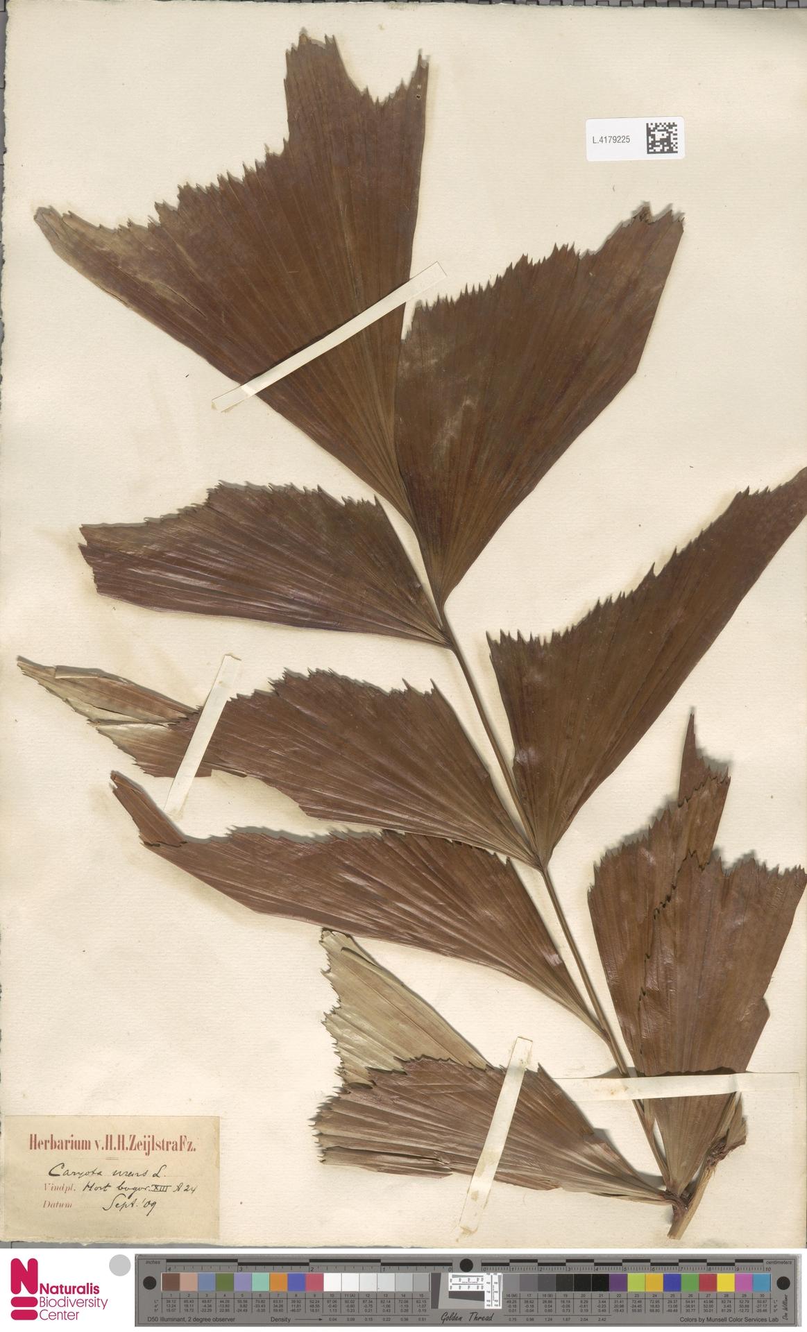 L.4179225 | Caryota urens L.