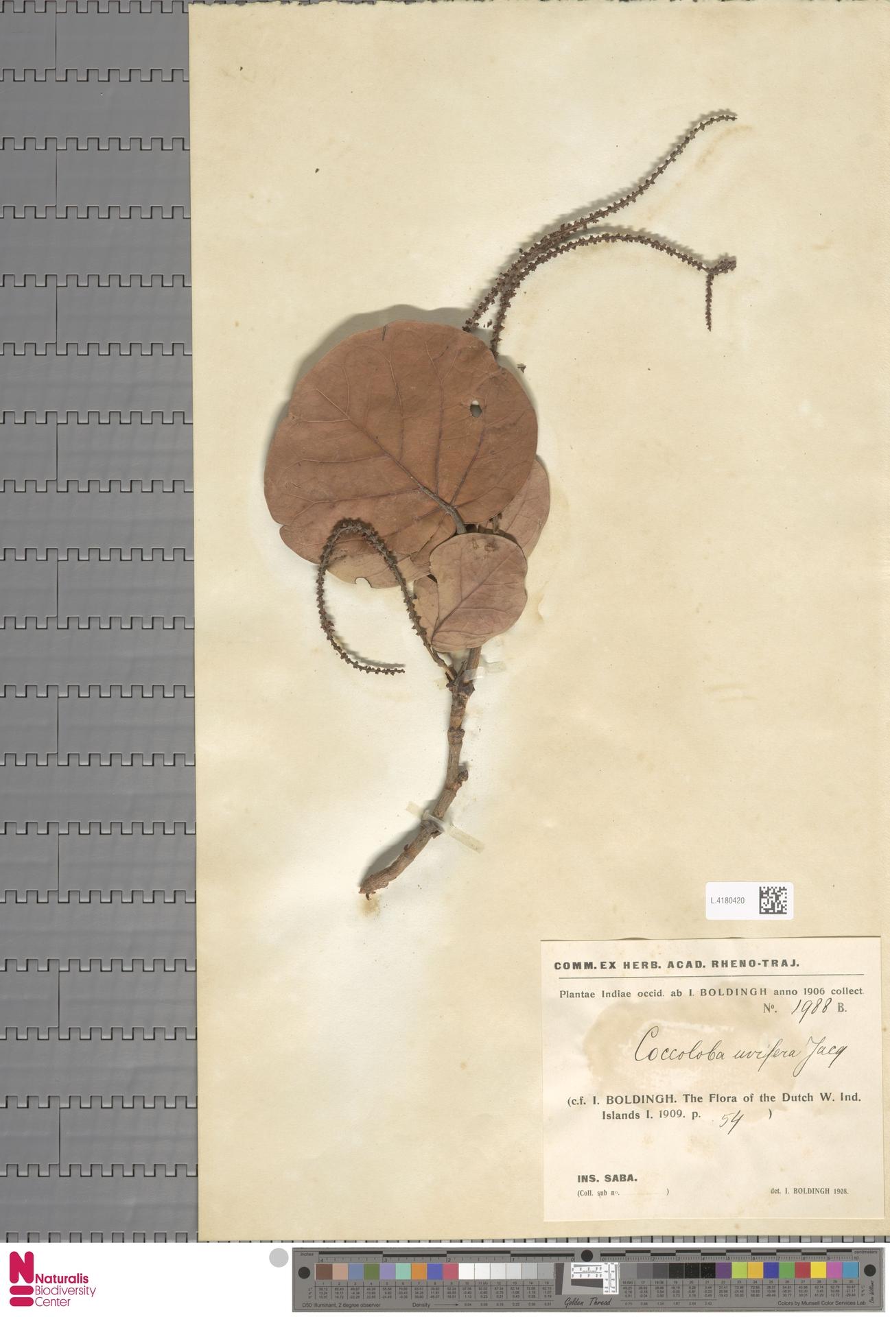 L.4180420   Coccoloba uvifera (L.) L.