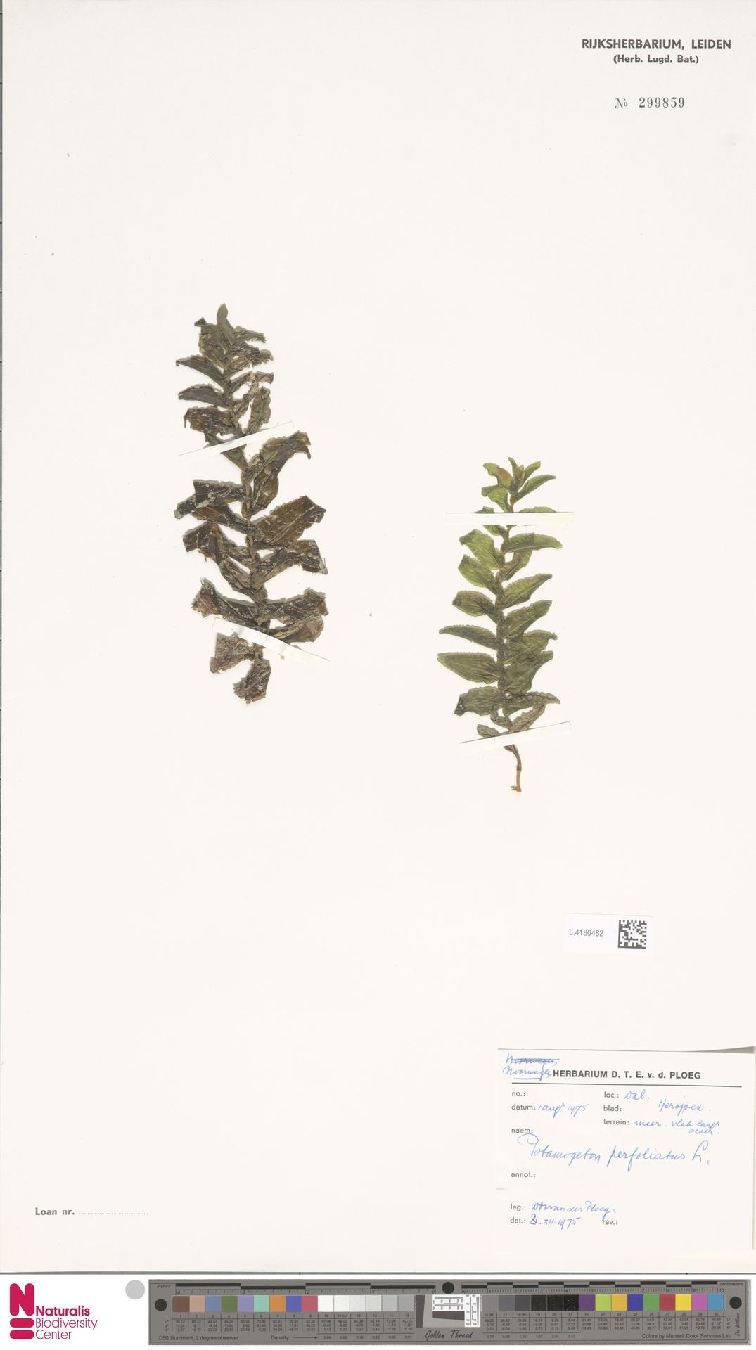L.4180482 | Potamogeton perfoliatus L.