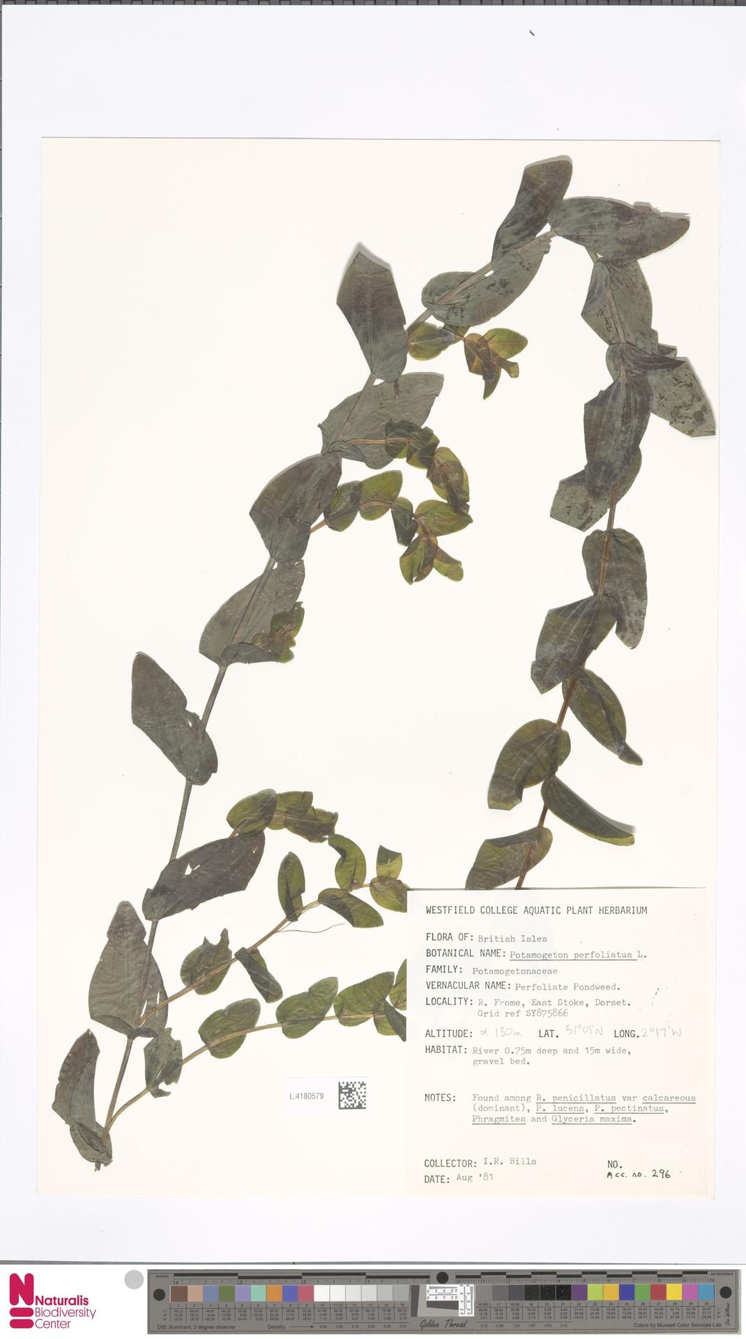 L.4180579 | Potamogeton perfoliatus L.