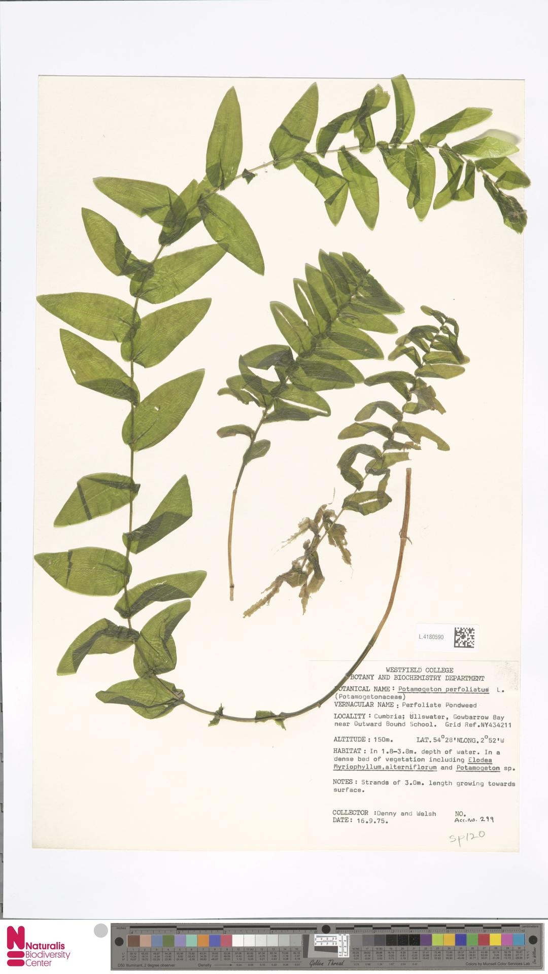L.4180590 | Potamogeton perfoliatus L.