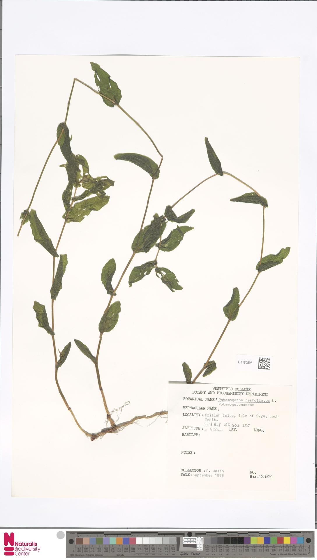 L.4180595 | Potamogeton perfoliatus L.