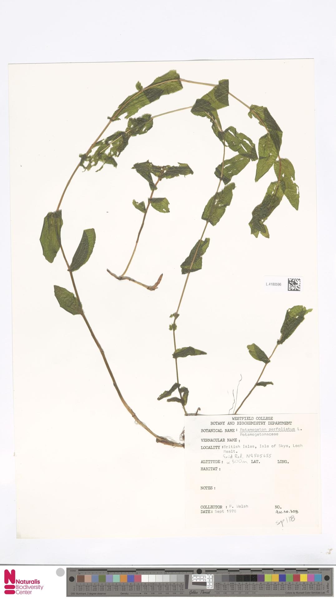 L.4180596 | Potamogeton perfoliatus L.