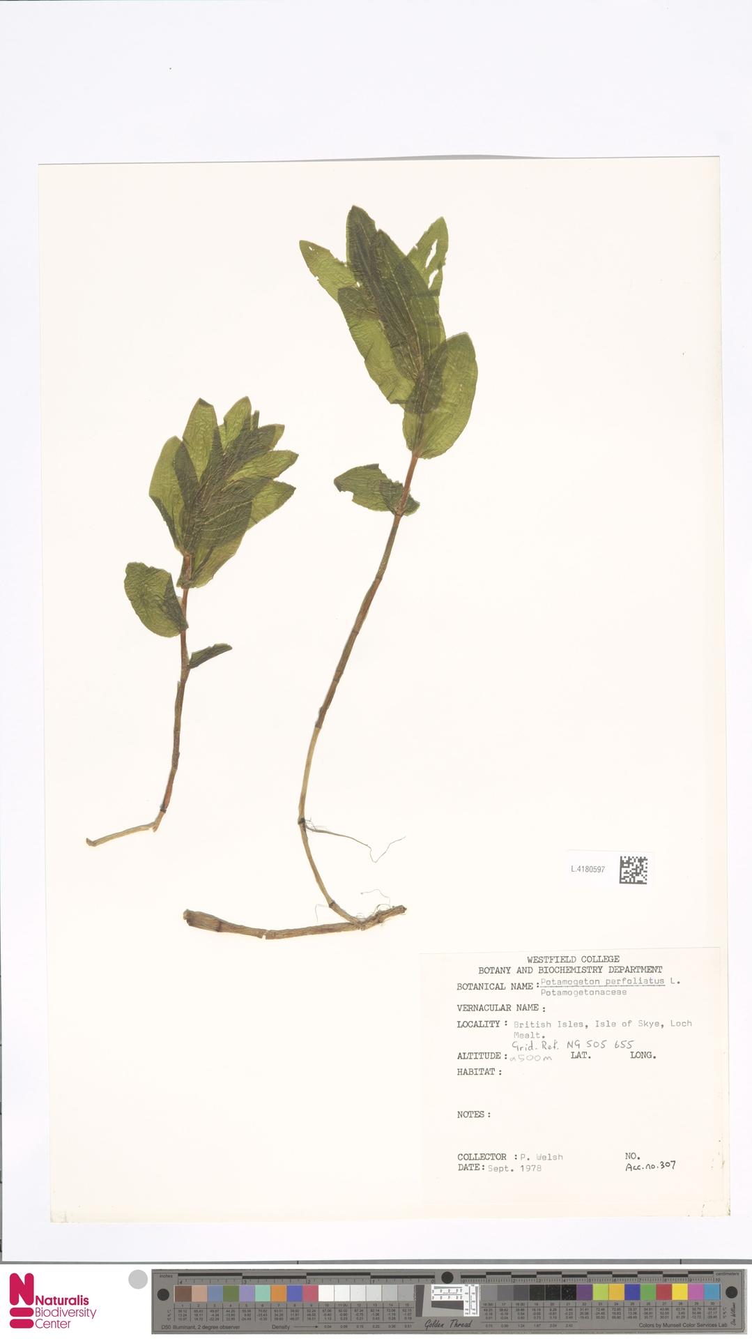 L.4180597 | Potamogeton perfoliatus L.