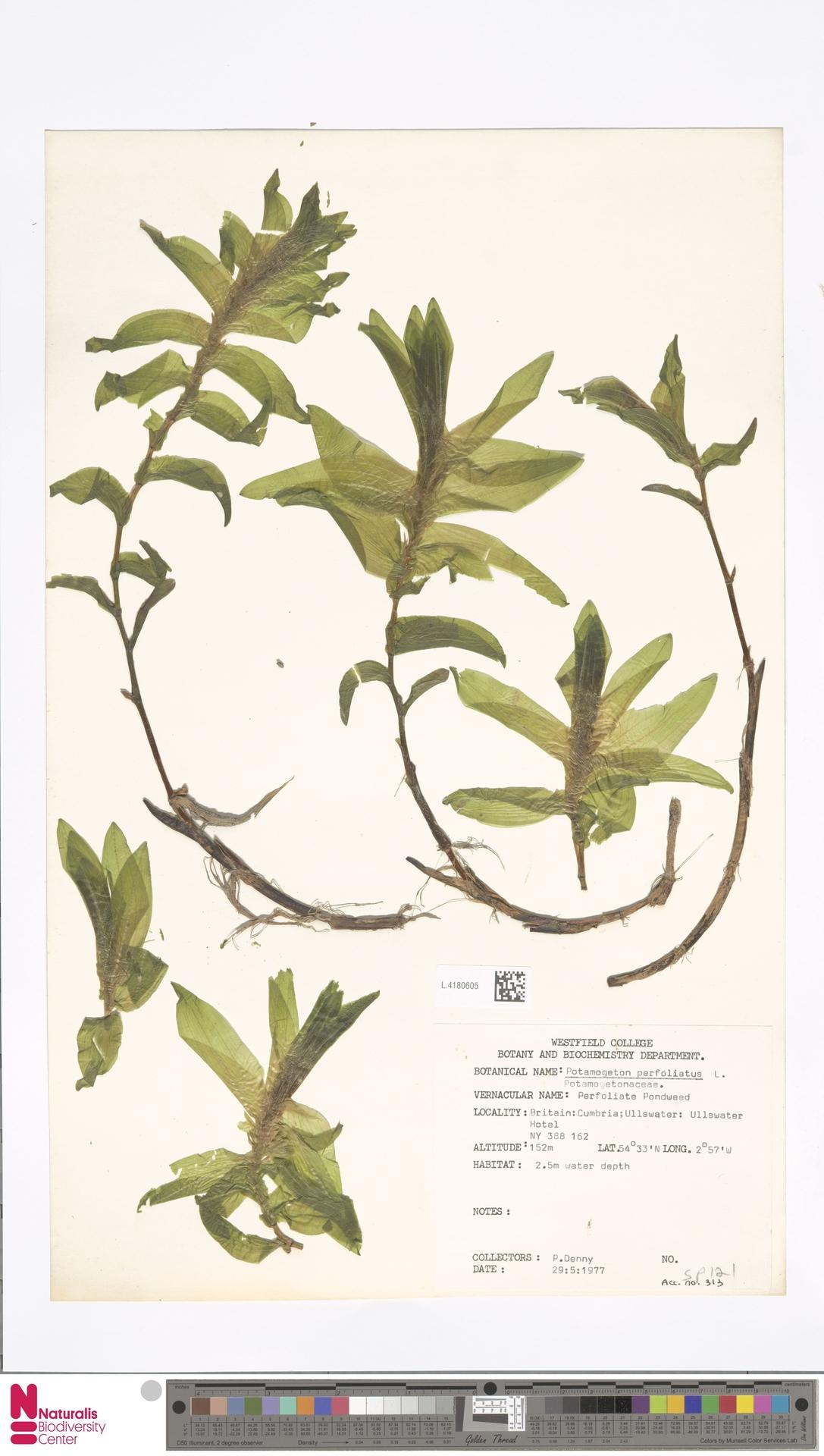 L.4180605 | Potamogeton perfoliatus L.