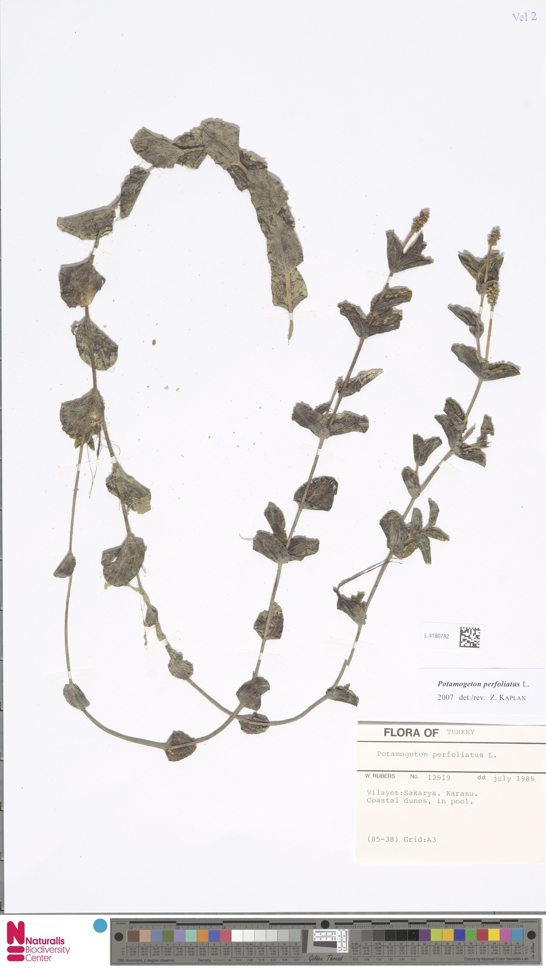 L.4180782 | Potamogeton perfoliatus L.