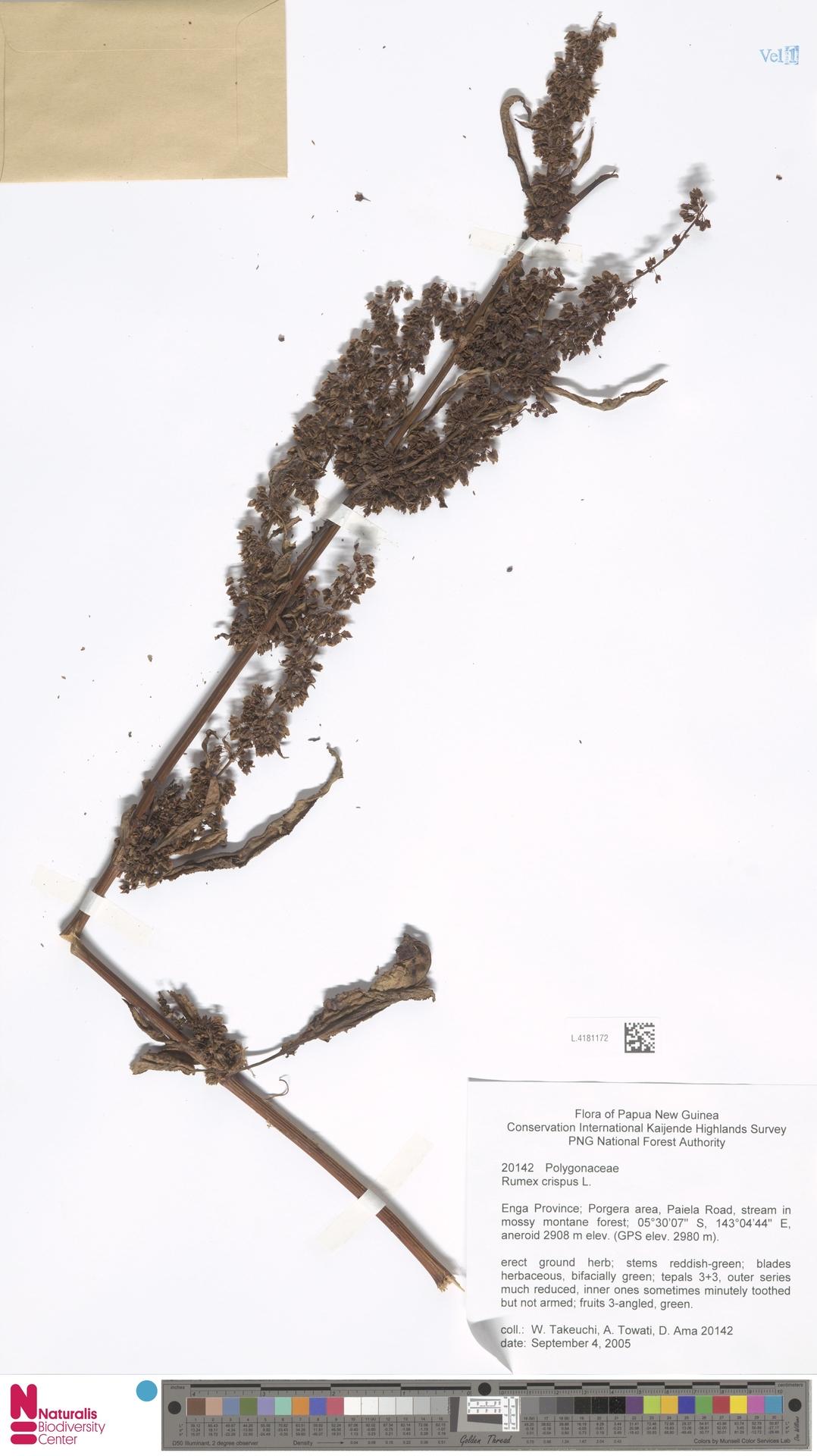 L.4181172 | Rumex crispus L.