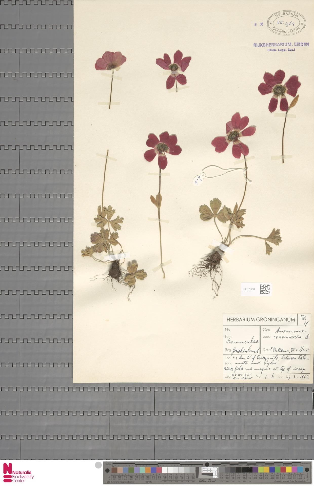 L.4181650 | Anemone coronaria L.