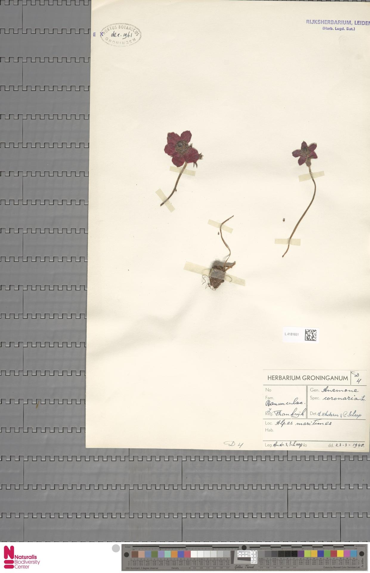 L.4181651 | Anemone coronaria L.