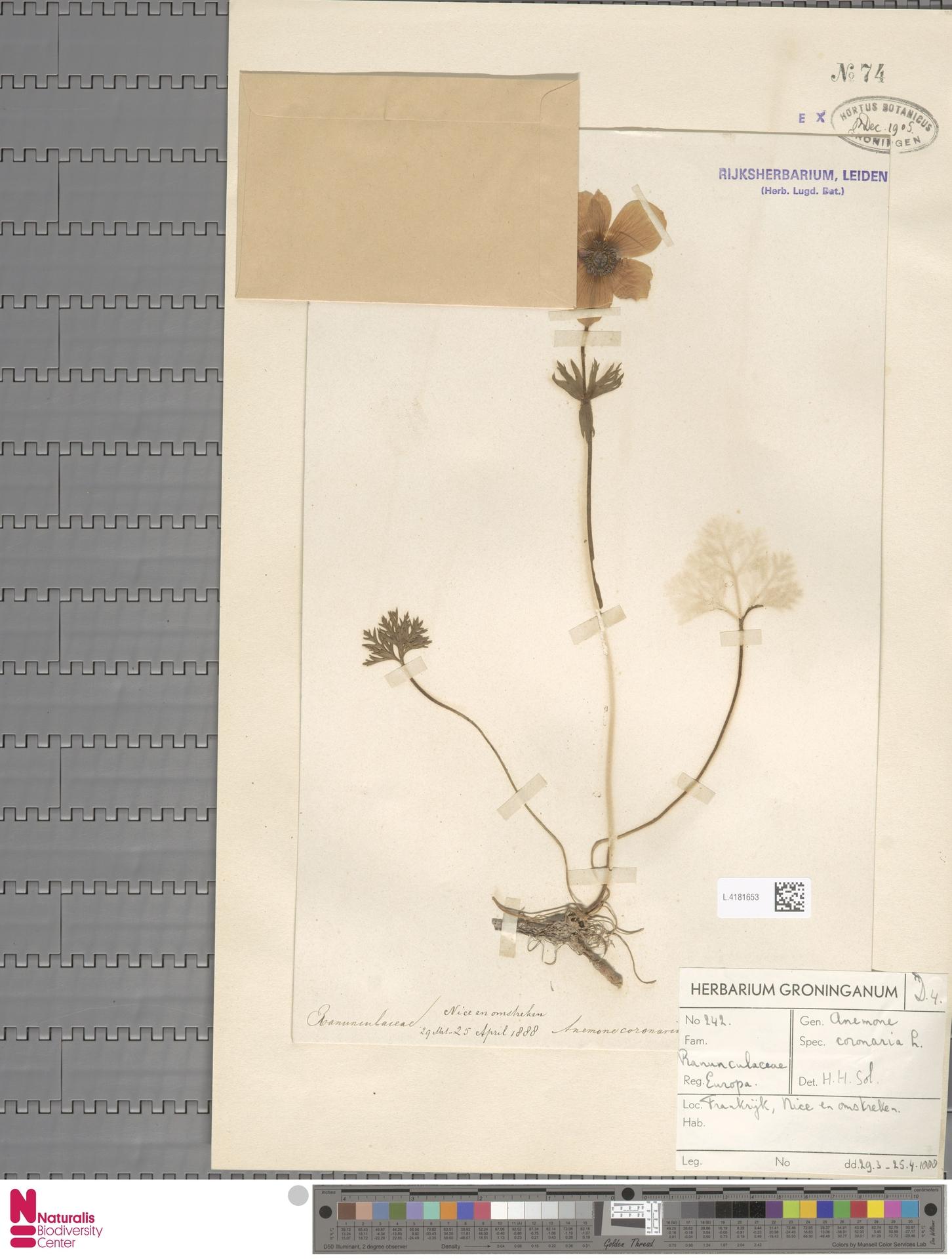L.4181653 | Anemone coronaria L.