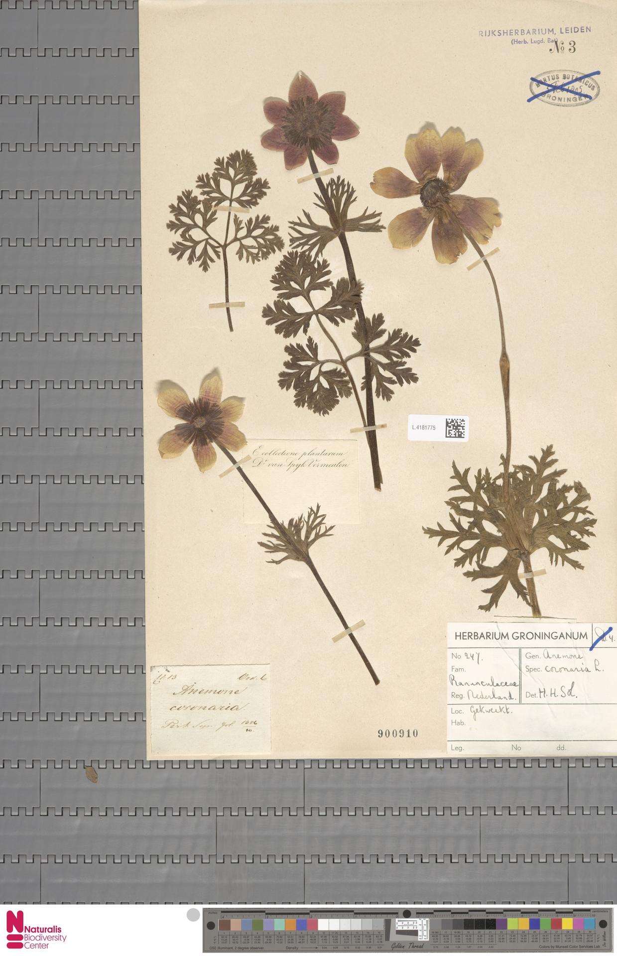 L.4181775 | Anemone coronaria L.