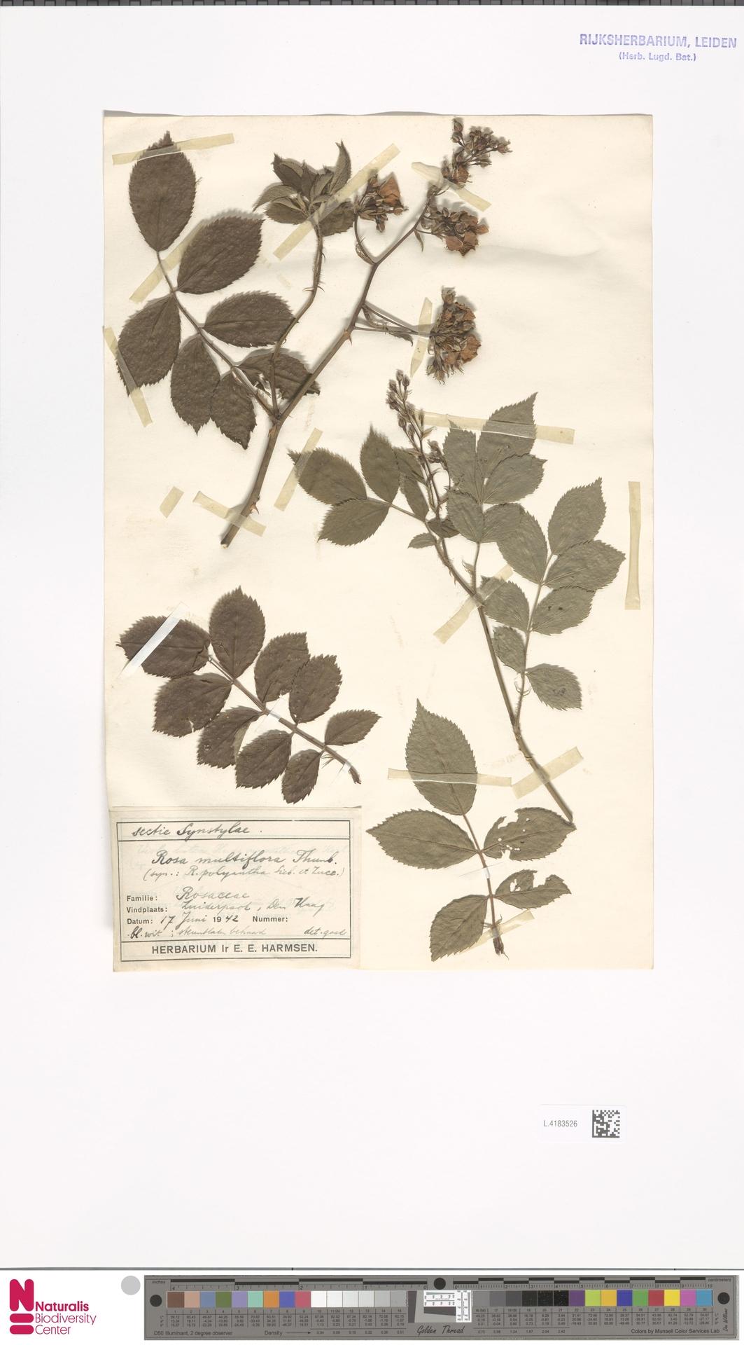 L.4183526 | Rosa multiflora Thunb.