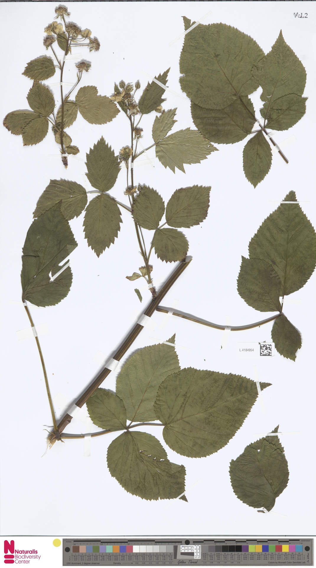 L.4184954 | Rubus nessensis Hall