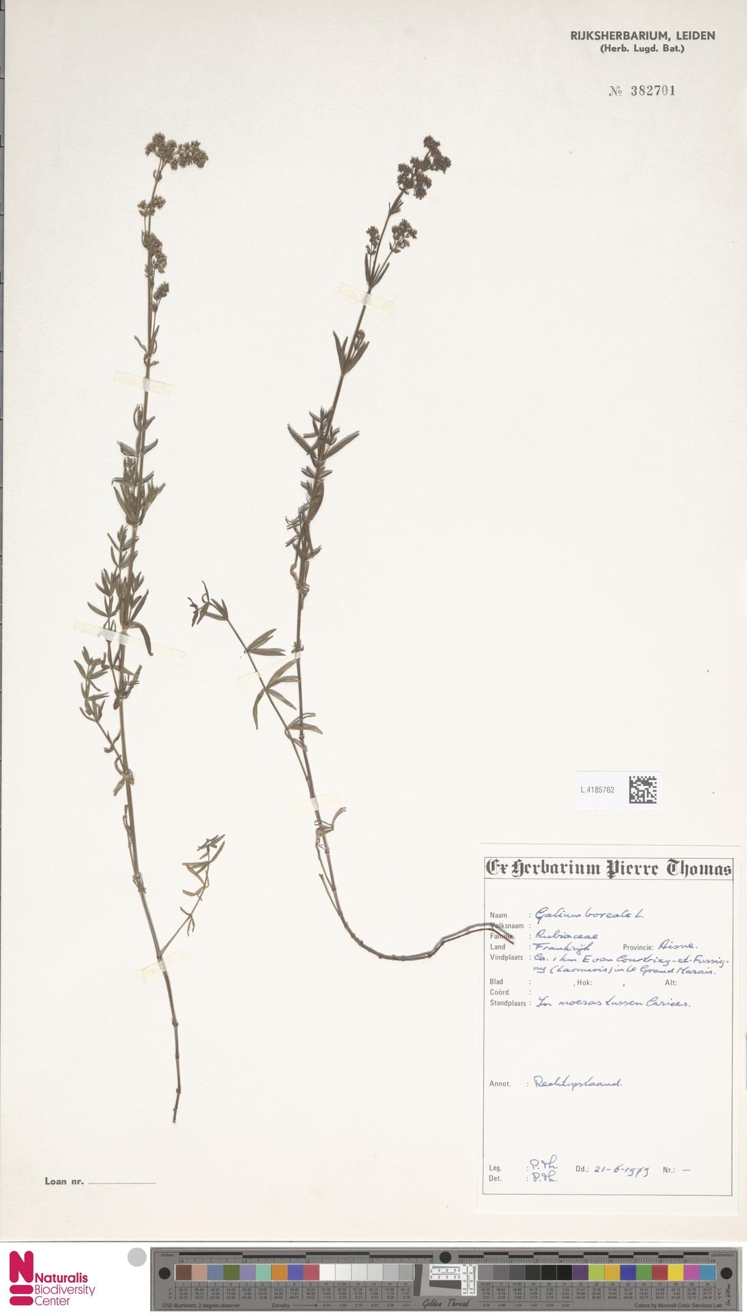 L.4185762 | Galium boreale L.