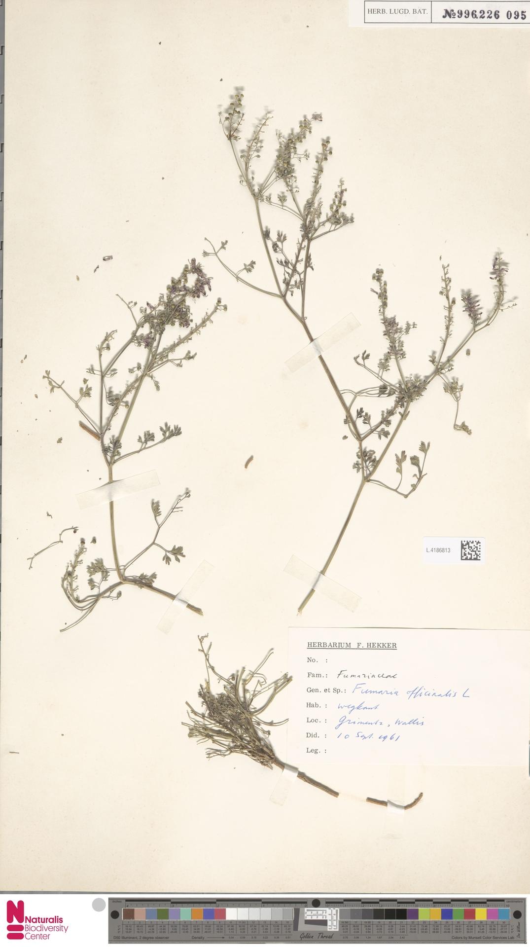 L.4186813   Fumaria officinalis L.