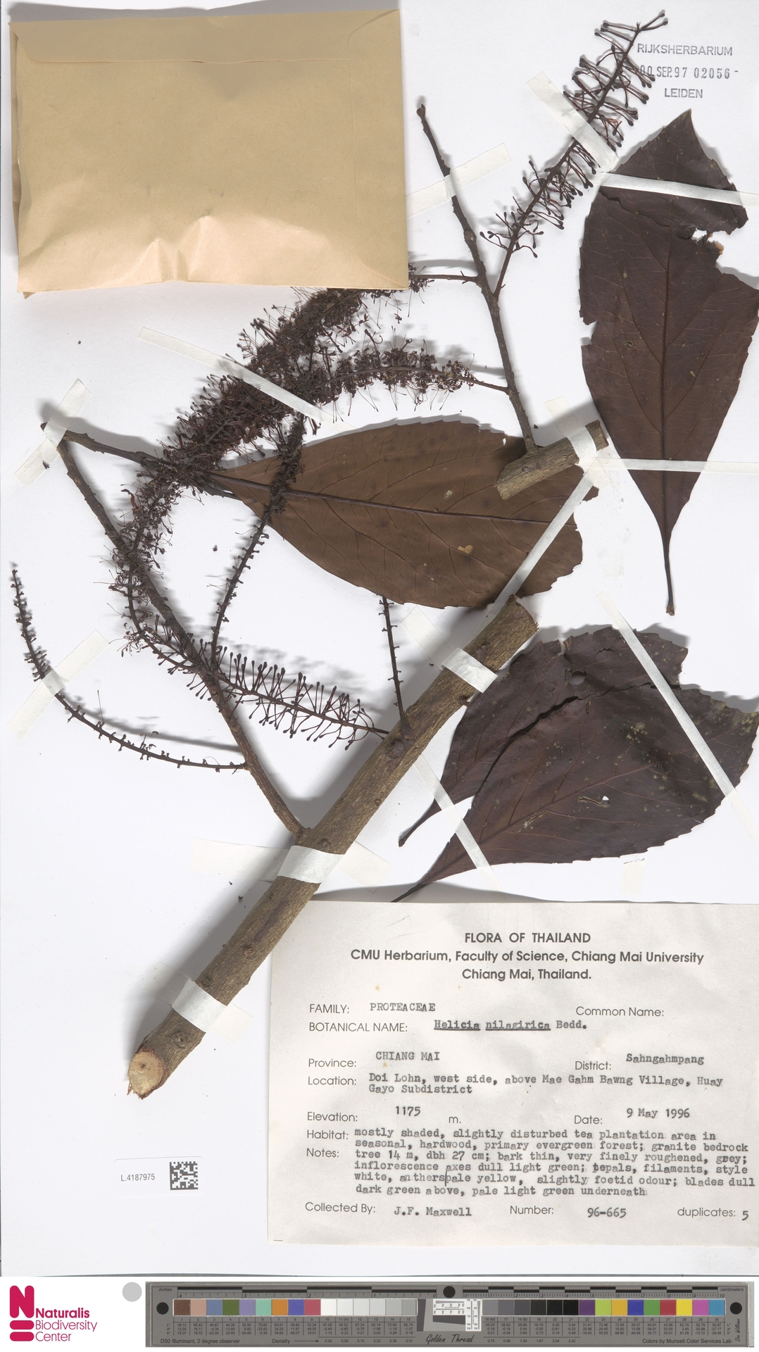 L.4187975 | Helicia nilagirica Bedd.
