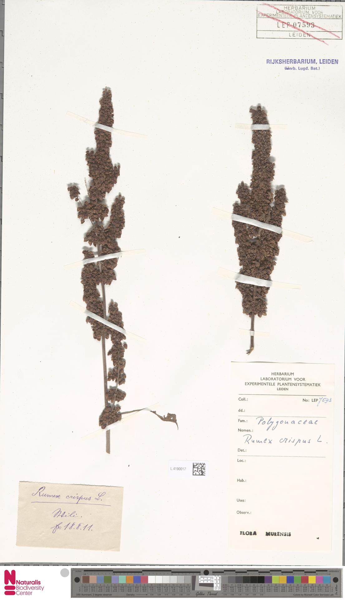 L.4190017   Rumex crispus L.