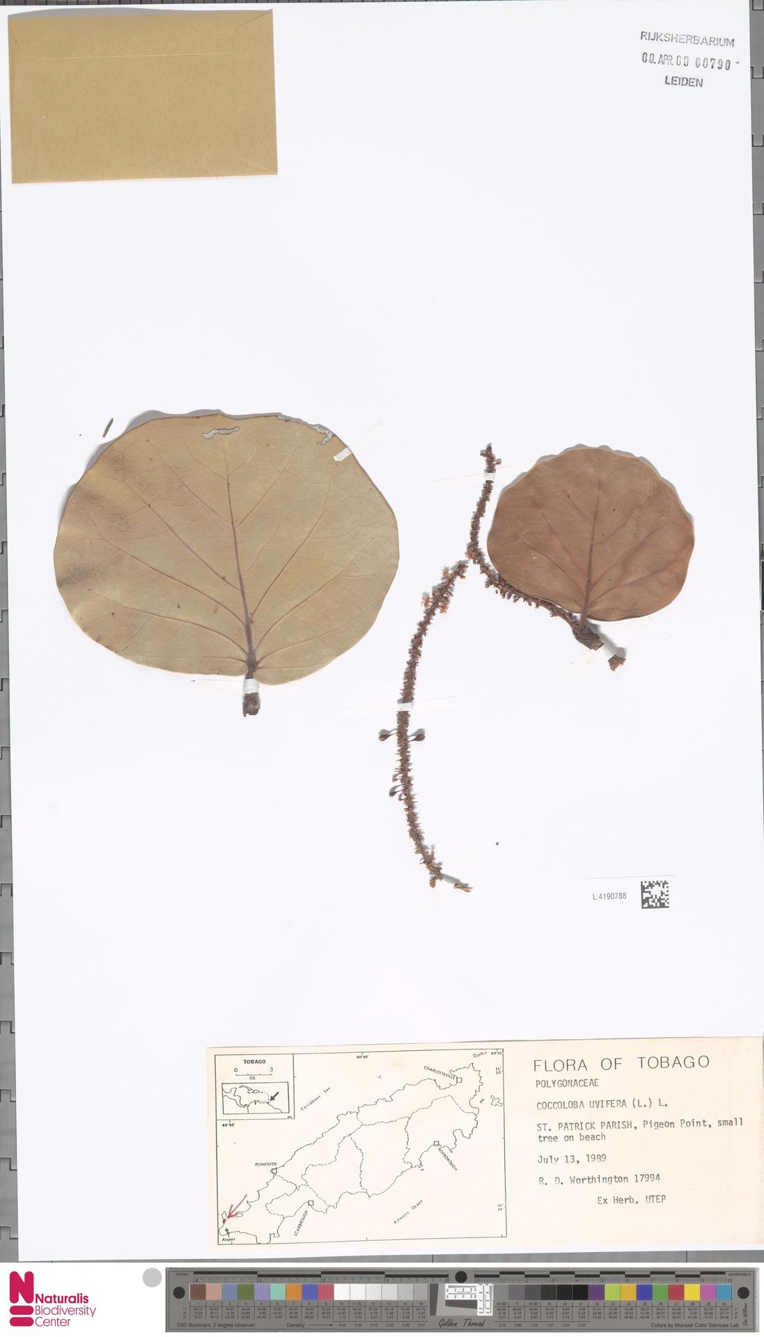 L.4190788 | Coccoloba uvifera (L.) L.