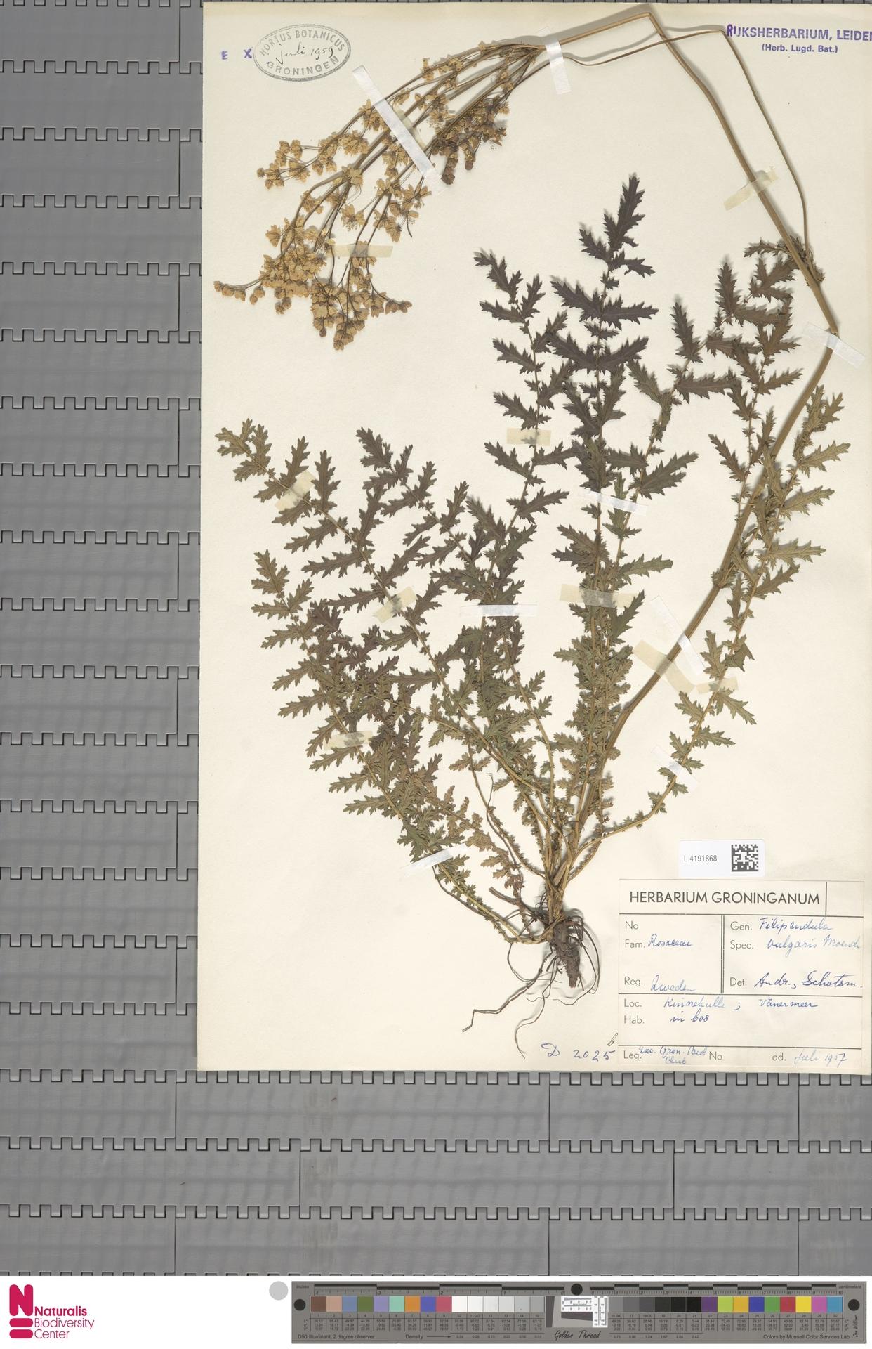 L.4191868 | Filipendula vulgaris Moench