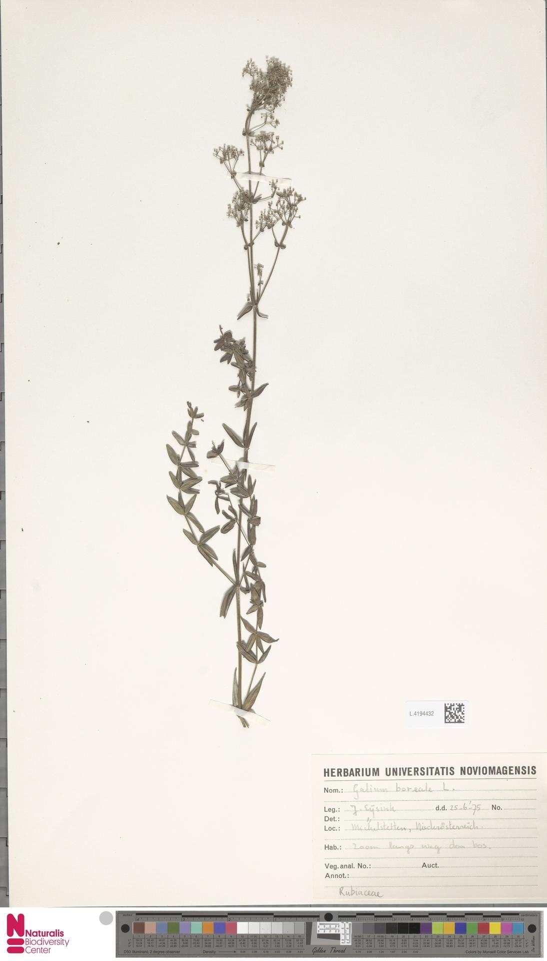 L.4194432   Galium boreale L.
