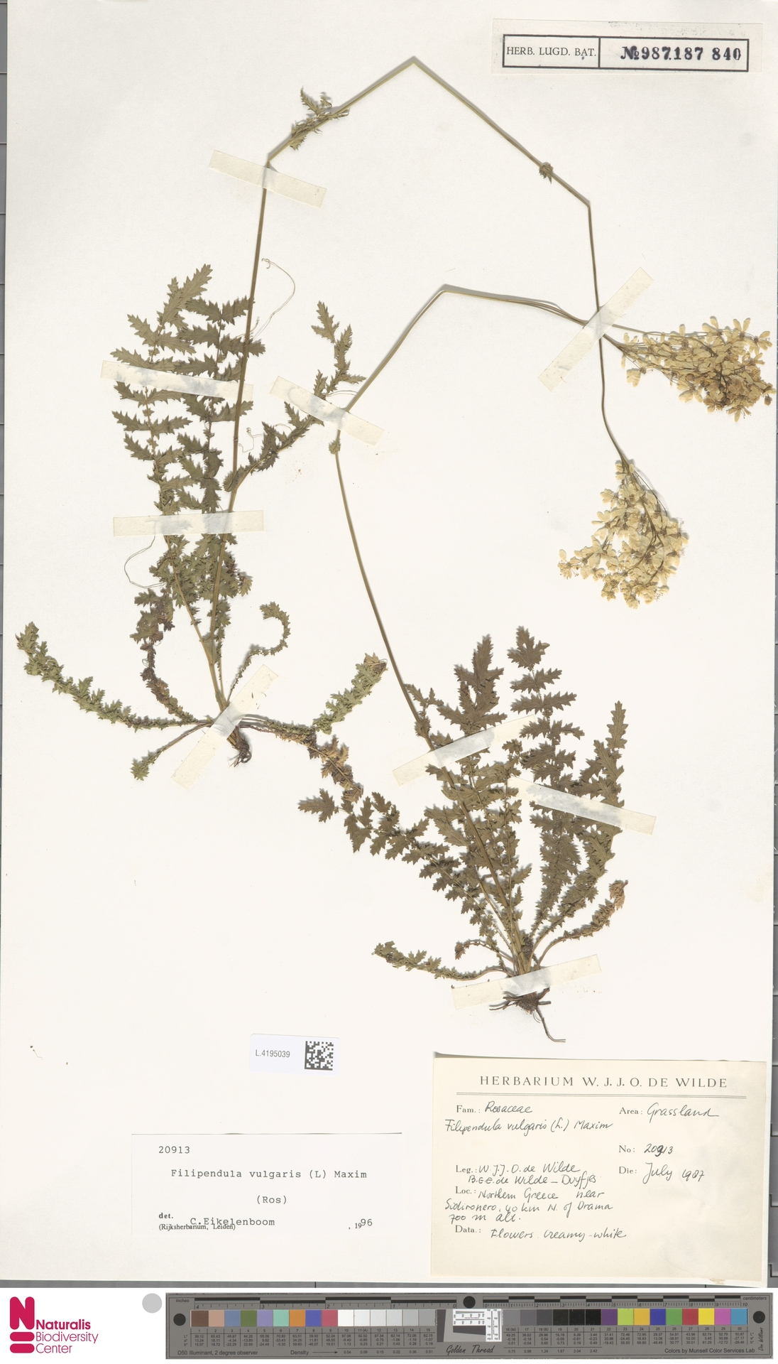 L.4195039 | Filipendula vulgaris Moench