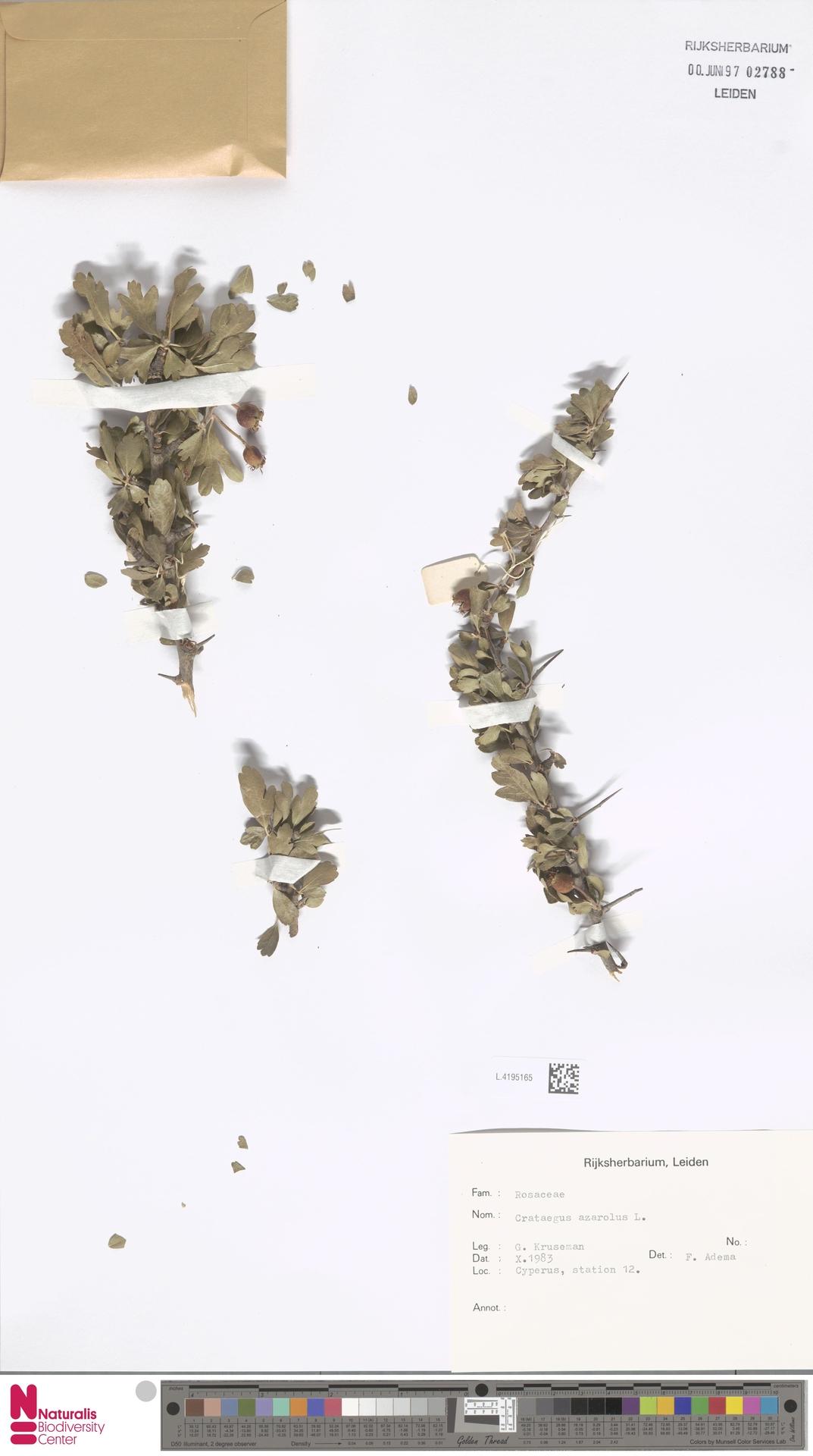 L.4195165 | Crataegus azarolus L.