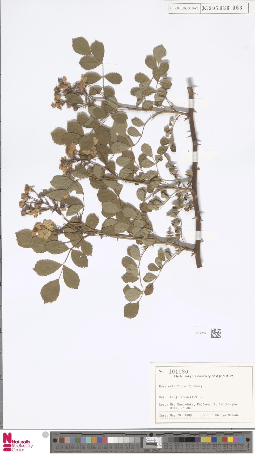L.4198287   Rosa multiflora Thunb.