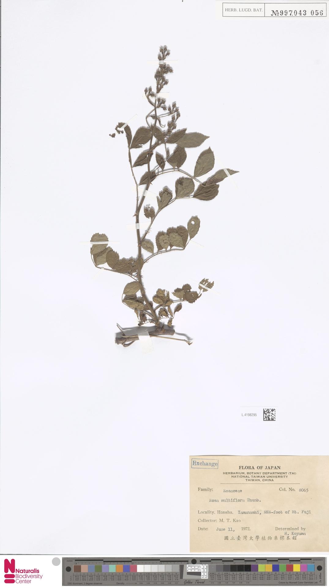 L.4198295 | Rosa multiflora Thunb.