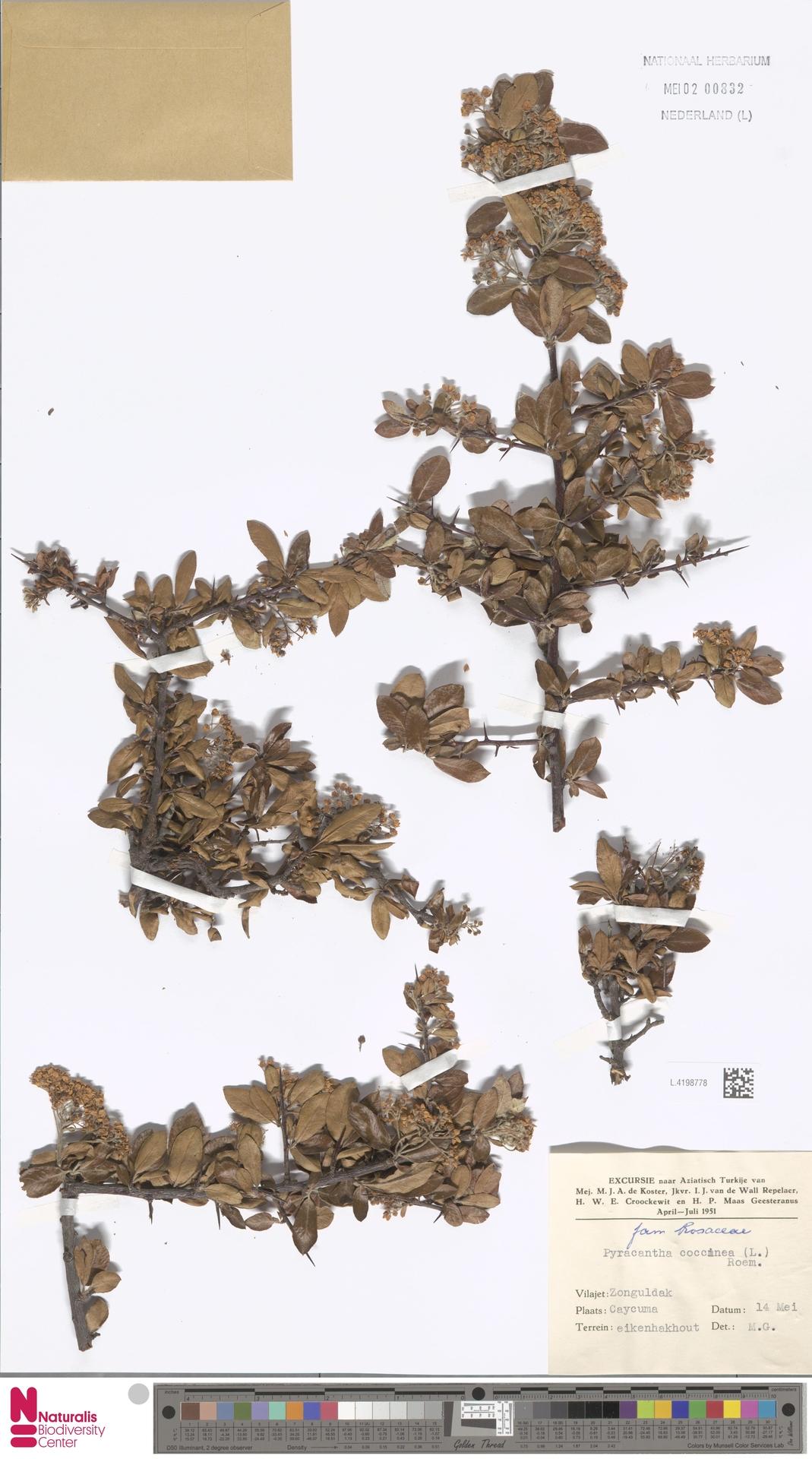 L.4198778 | Pyracantha coccinea M.Roem.