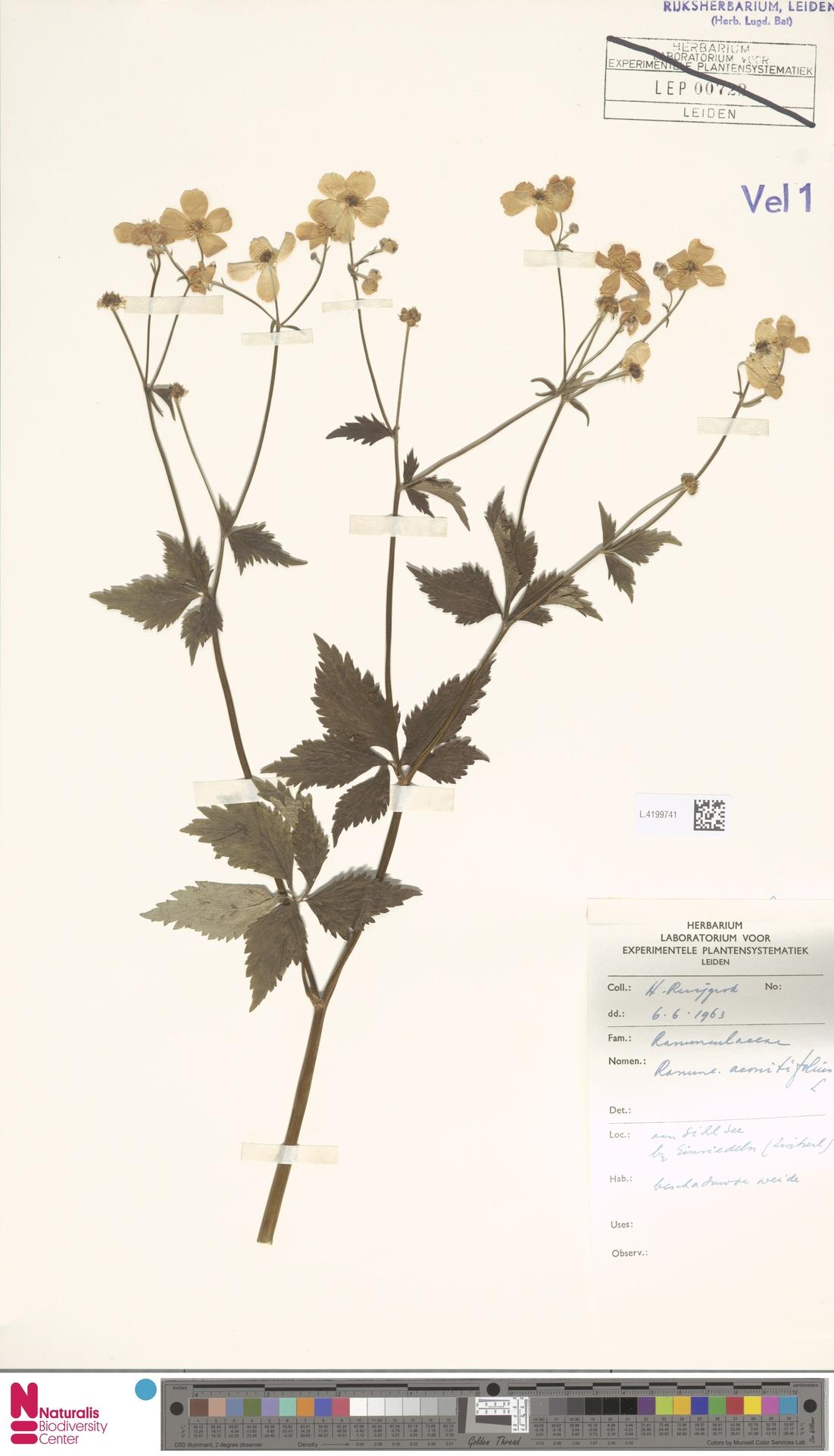 L.4199741   Ranunculus aconitifolius L.