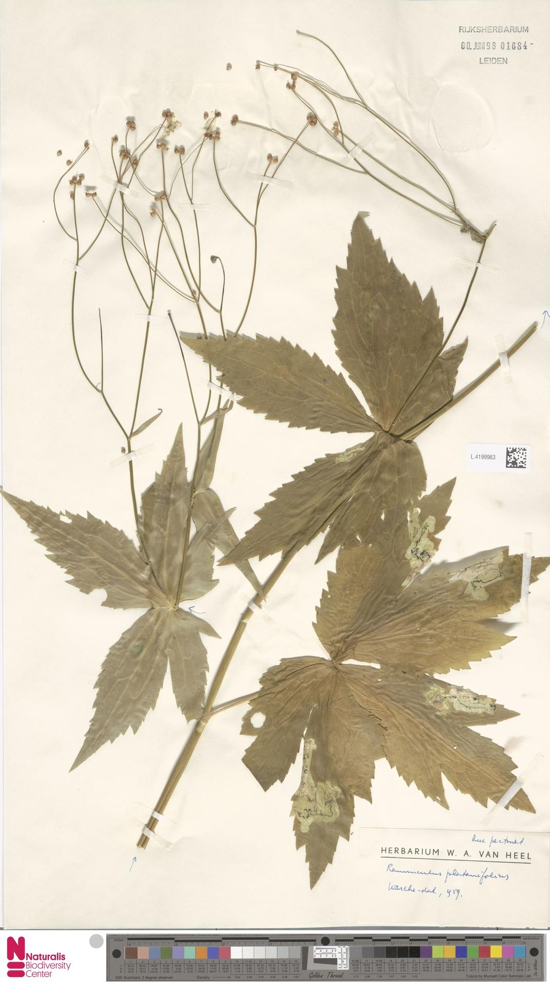 L.4199963 | Ranunculus platanifolius L.