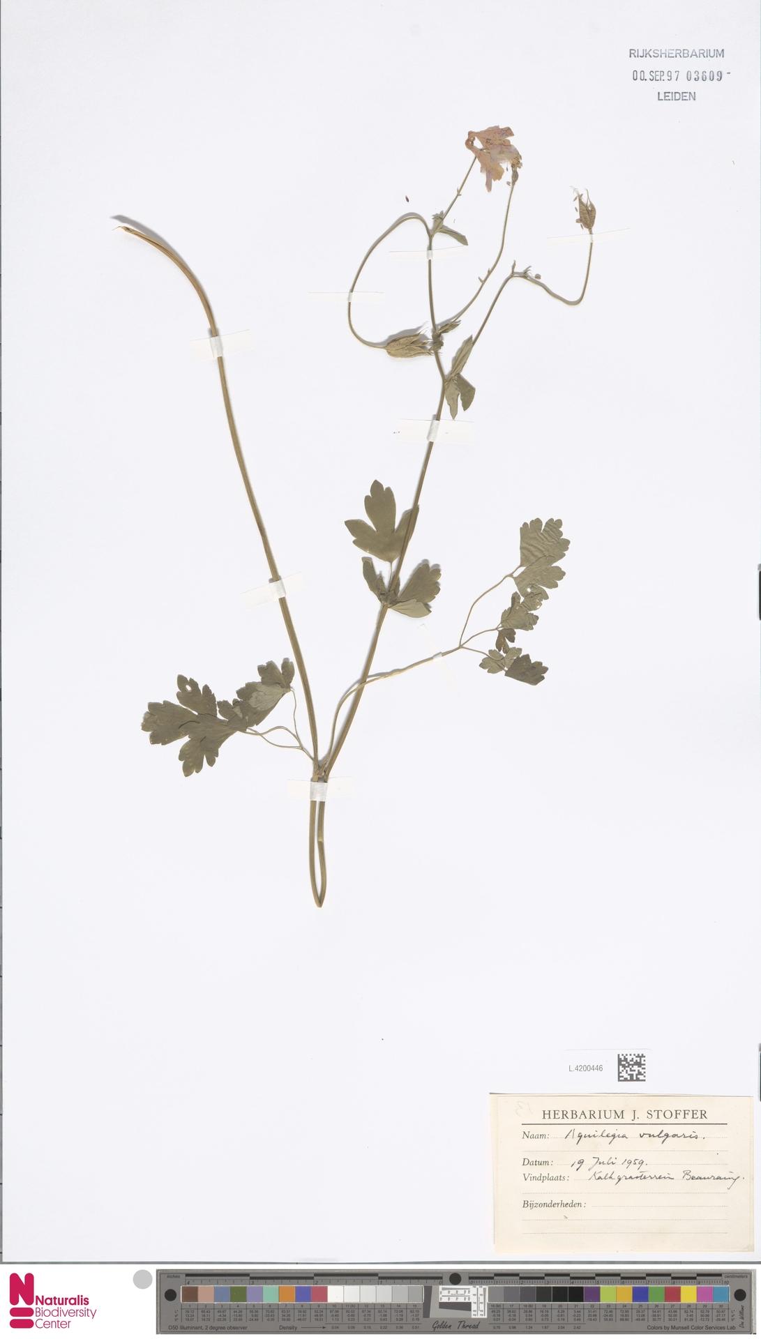 L.4200446 | Aquilegia vulgaris L.