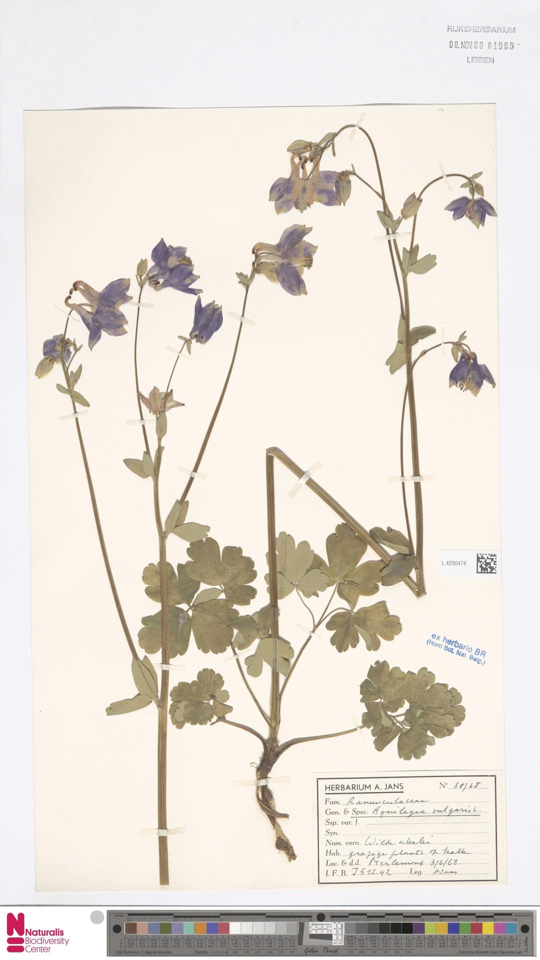 L.4200474   Aquilegia vulgaris L.