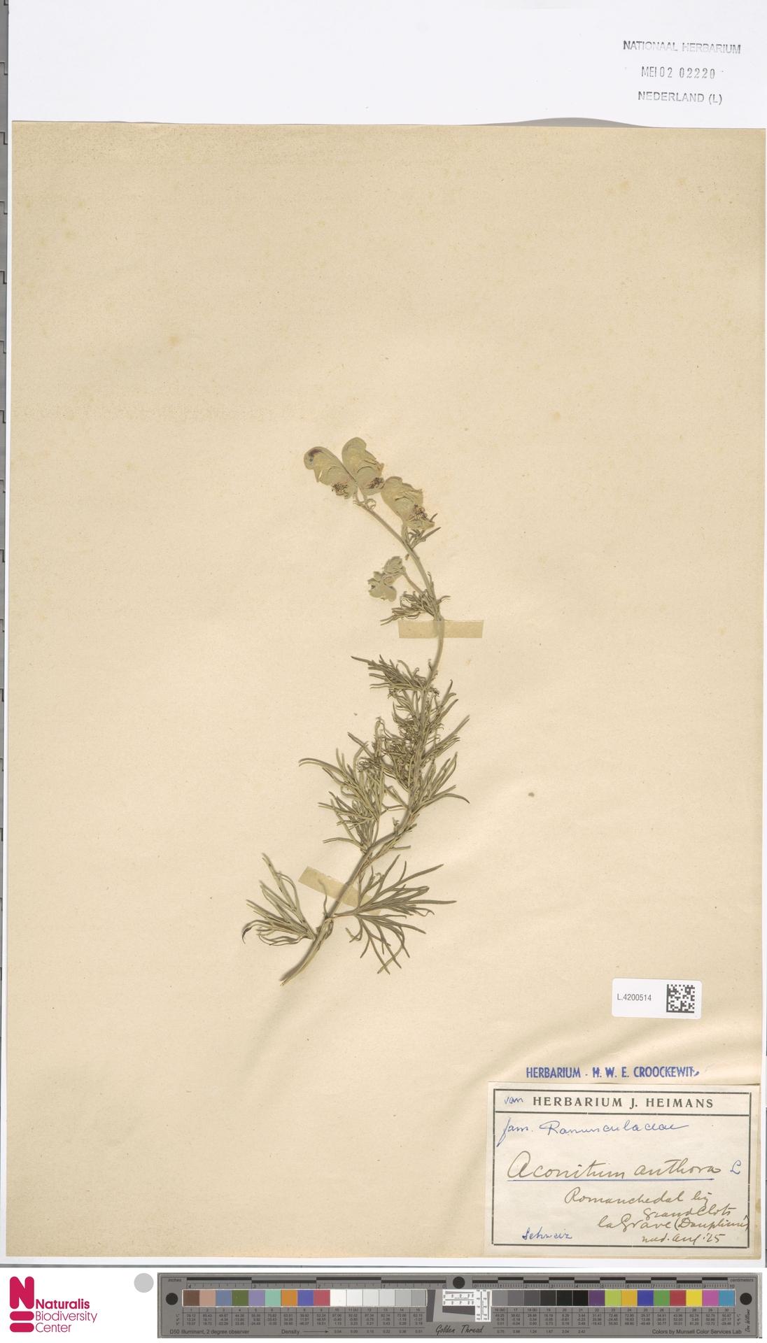 L.4200514   Aconitum anthora L.