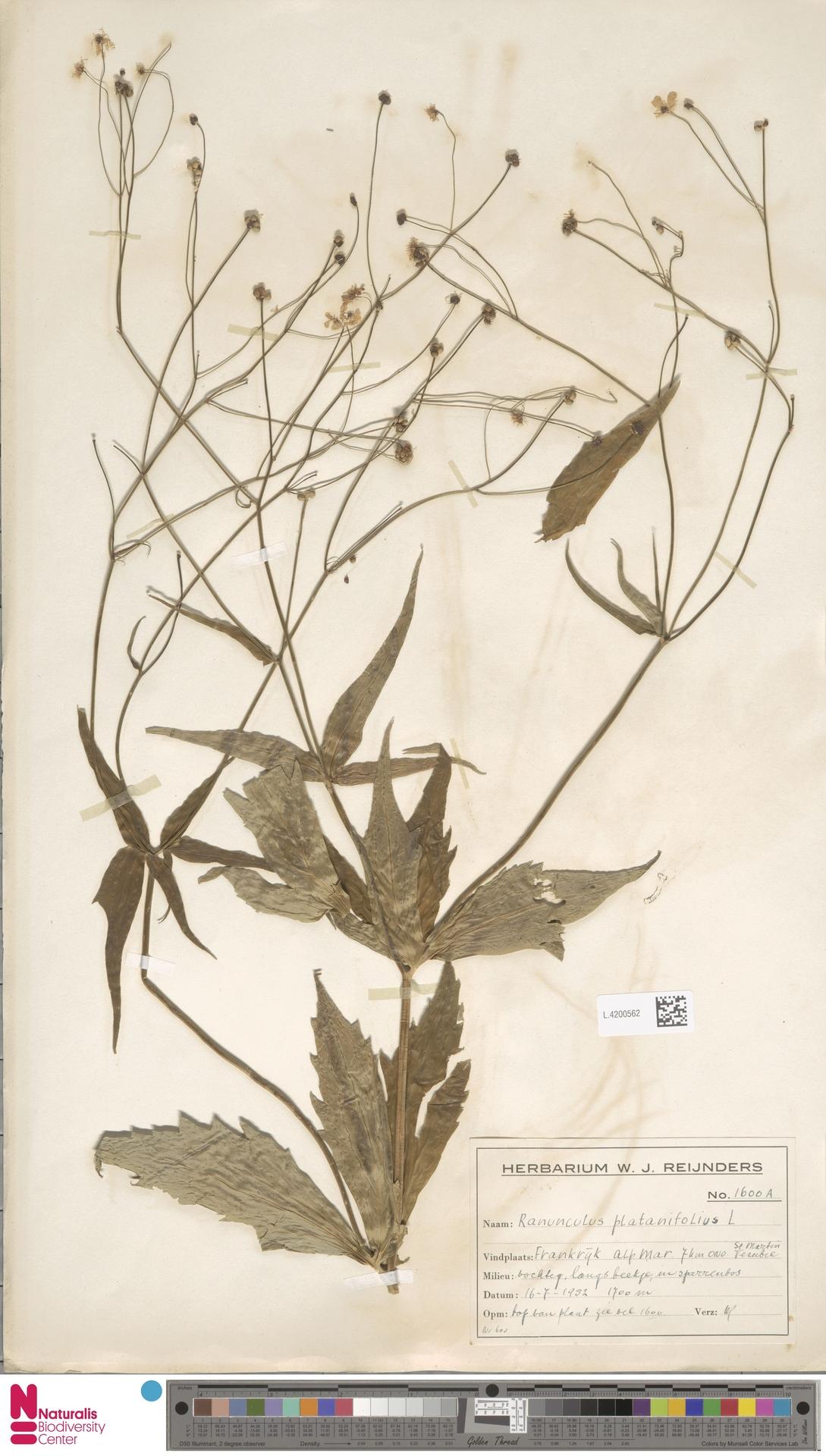 L.4200562   Ranunculus platanifolius L.