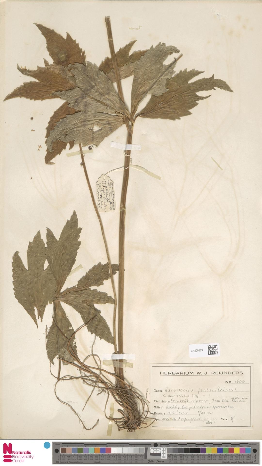 L.4200563 | Ranunculus platanifolius L.