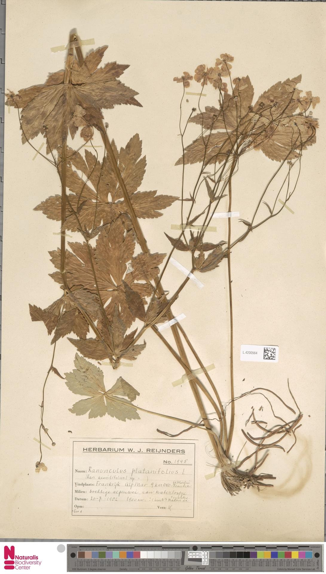 L.4200564 | Ranunculus platanifolius L.