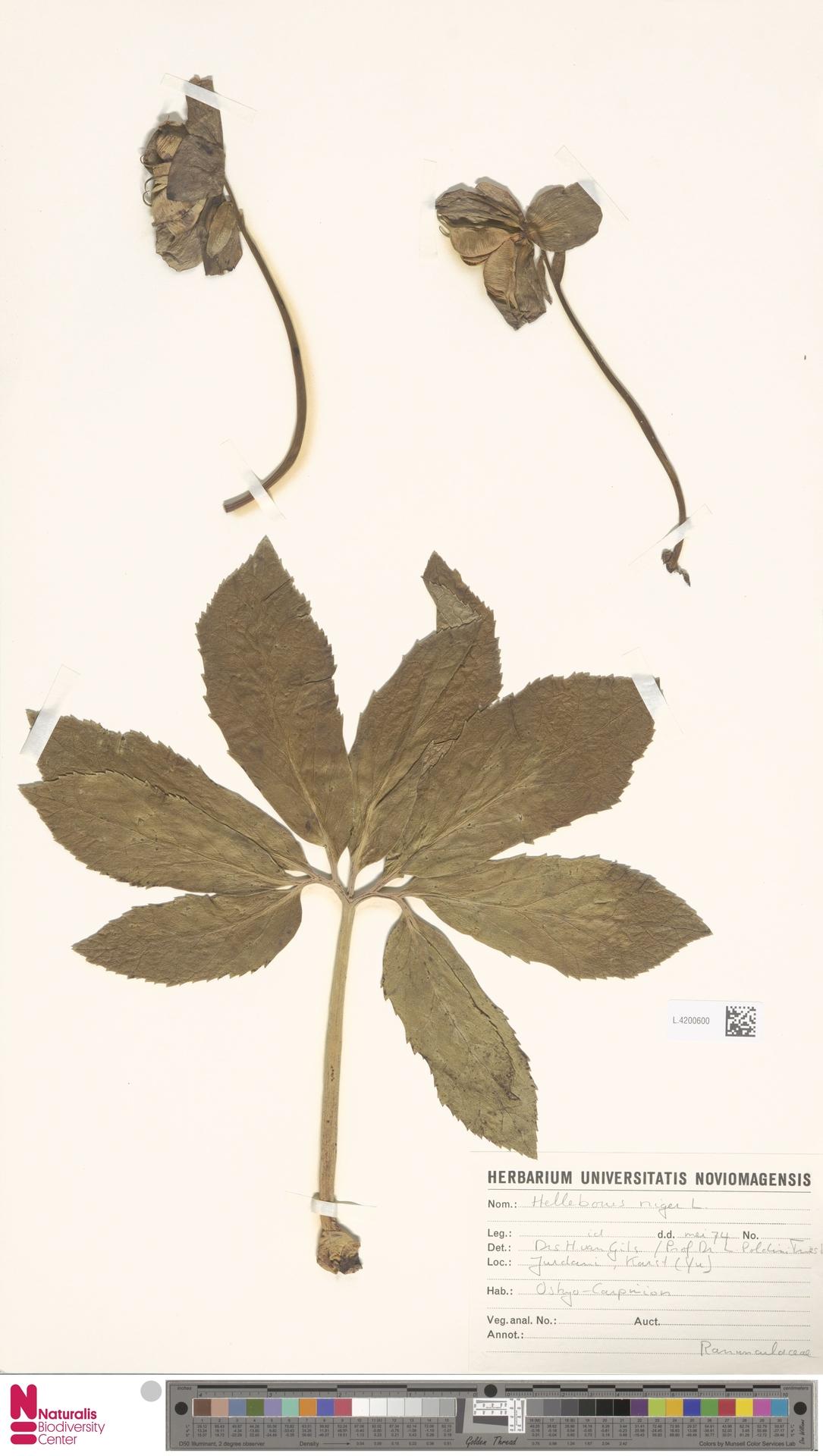 L.4200600   Helleborus niger L.