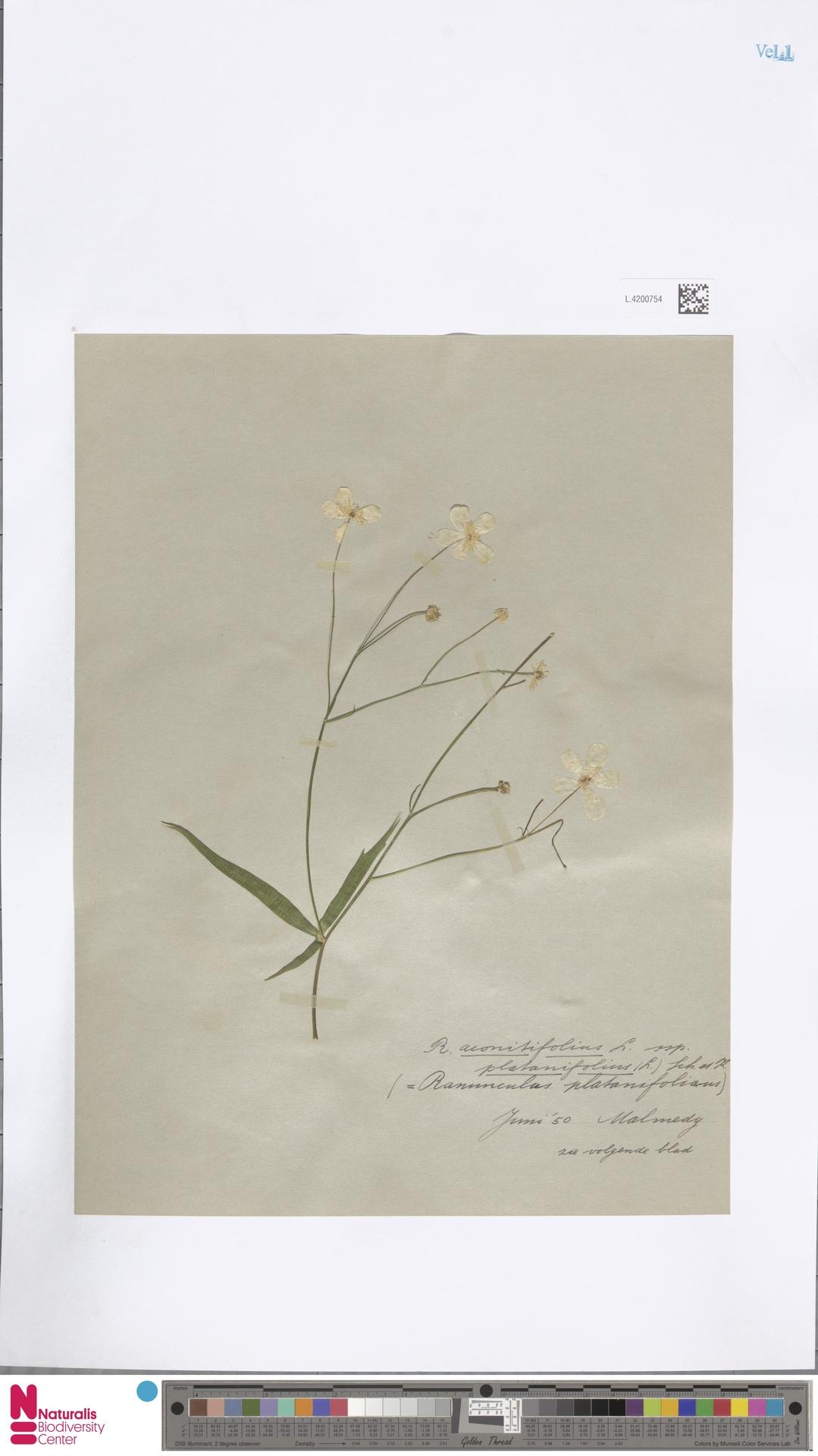 L.4200754 | Ranunculus platanifolius L.