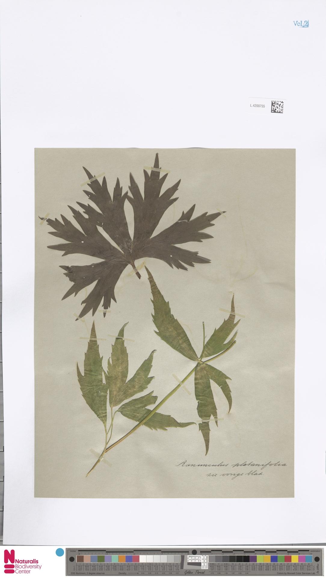 L.4200755 | Ranunculus platanifolius L.