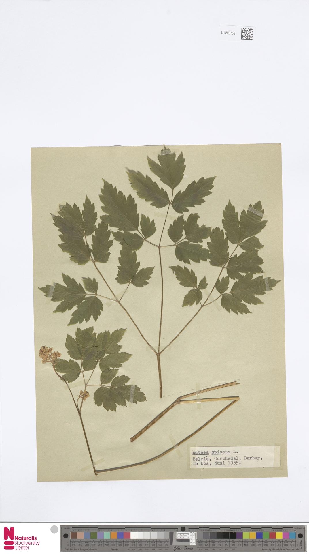 L.4200759 | Actaea spicata L.