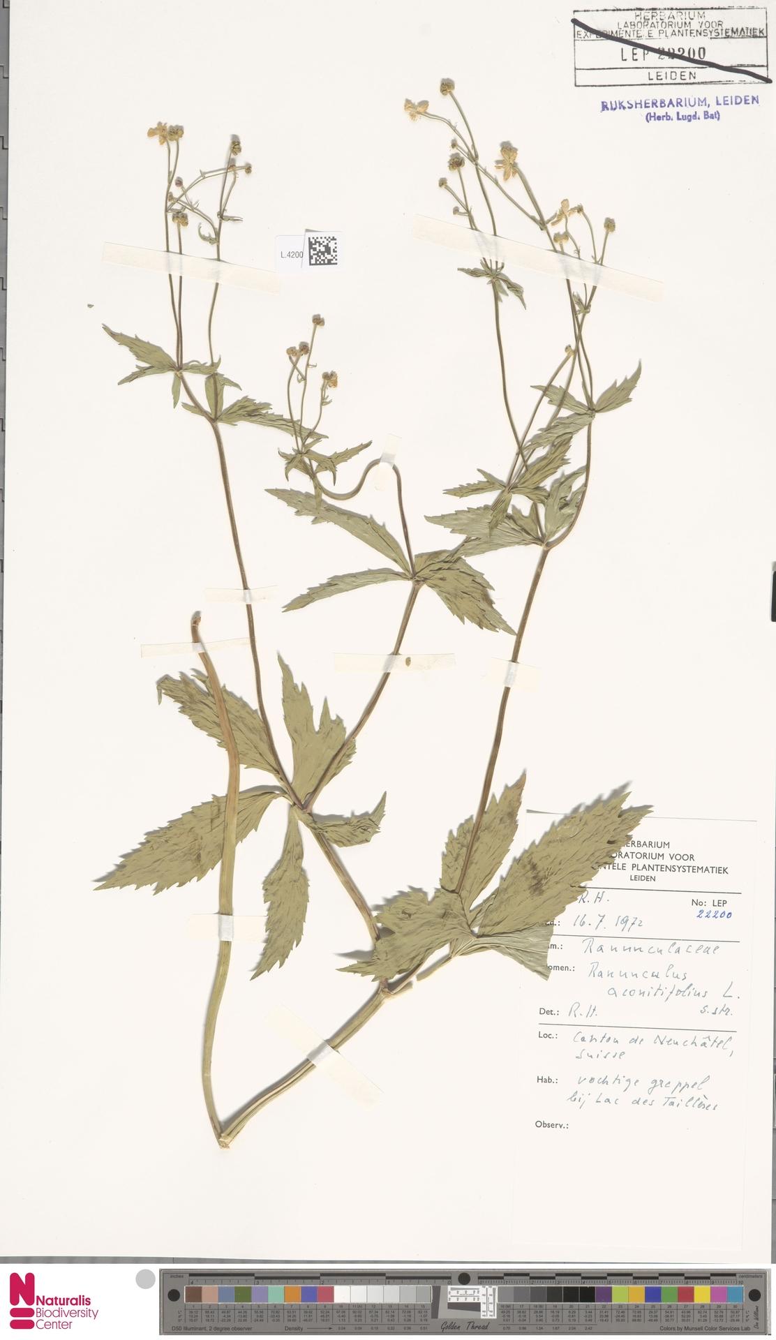 L.4200885 | Ranunculus aconitifolius L.
